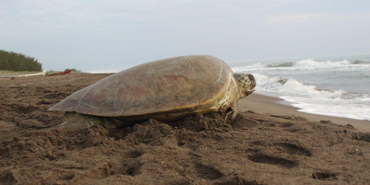 Refuerzan SEDEMA y FAV protección de tortuga marina